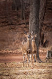 吃草在森林附近的白被盯梢的鹿 库存照片