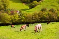 吃草在比利牛斯绿色秋天草甸的母牛在西班牙 库存图片