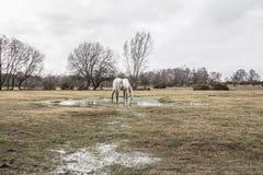 吃草在水中的新的森林小马 免版税库存图片