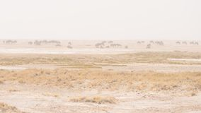 吃草在沙漠平底锅的羚羊牧群  沙尘暴和雾 野生生物徒步旅行队在埃托沙国家公园,著名旅行destin 库存照片