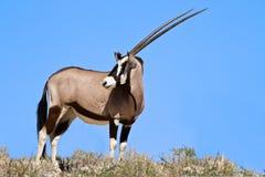 吃草在沙漠的羚羊属 库存照片