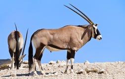 吃草在沙漠的羚羊属 库存图片