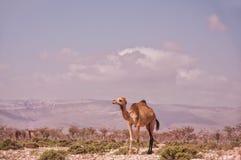 吃草在沙漠的骆驼 图库摄影
