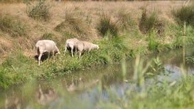 吃草在河沿的绵羊 影视素材