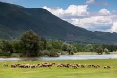 吃草在河灰蝶科类旁边的绵羊在北Greec反弹 免版税库存图片