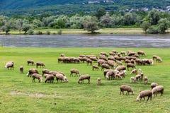 吃草在河灰蝶科类旁边的绵羊在北Greec反弹 库存照片