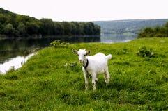 吃草在河的河岸的山羊 库存照片
