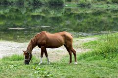 吃草在河的河岸的布朗马 免版税库存图片