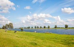 吃草在河的河岸的黑白母牛 库存图片