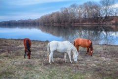 吃草在河附近的三匹马 库存图片