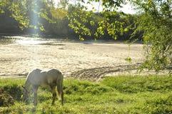 吃草在河附近的马 免版税库存照片