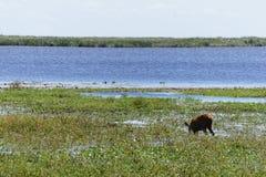 吃草在沼泽植被中丛林的鹿在伊维萨岛国家储备的在阿根廷 库存照片