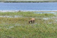 吃草在沼泽植被中丛林的鹿在伊维萨岛国家储备的在阿根廷 免版税图库摄影
