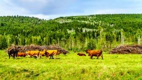 吃草在沿Heffley路易斯小河路的草甸的牛在增殖比 免版税库存照片
