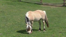 吃草在温暖的下午太阳的一个牧场地的马 股票录像