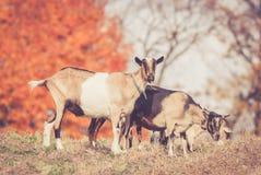吃草在温暖的减速火箭的神色的领域的山羊 免版税库存图片