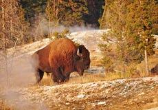 吃草在温泉的一个通配北美野牛在黄石 库存照片
