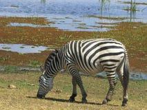 吃草在湖旁边的斑马在amboseli 库存照片