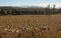 吃草在湖Hauruko附近的绵羊在南方在南岛在新西兰 库存图片