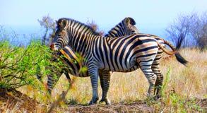 吃草在灌木的三匹斑马 库存照片