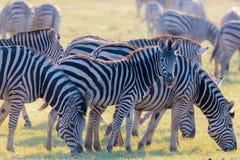 吃草在灌木的斑马牧群  发光的温暖的日落光 野生生物徒步旅行队在非洲国家公园和野生生物储备 库存照片