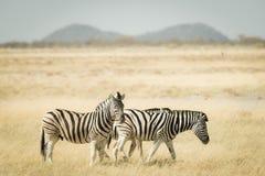吃草在灌木的斑马牧群  野生生物徒步旅行队在埃托沙国家公园,顶面旅行目的地在纳米比亚,非洲 定调子 免版税库存照片