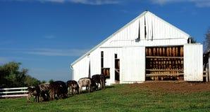 吃草在烟草的母牛在农场离开干燥谷仓 图库摄影