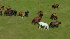 吃草在牧场地、绿色风景鸟瞰图与棕色马牧群的和一个唯一白马的马 影视素材