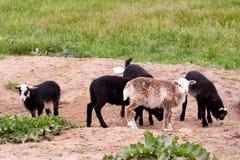 吃草在牧场地的一些只幼小滑稽的羊羔 免版税库存照片