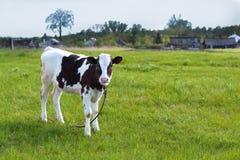 吃草在牧场地的一头一点被栓的小牛 库存图片