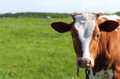 吃草在牧场地的一头一点被栓的小牛 免版税图库摄影