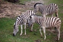 吃草在牧场地的三匹斑马 免版税库存照片