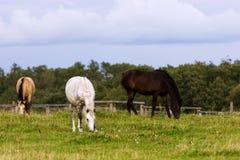 吃草在牧场地的三匹马 免版税库存照片