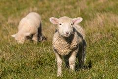 吃草在牧场地的两只羊羔 库存图片
