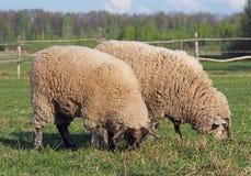 吃草在牧场地的两只绵羊 免版税库存图片