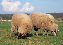 吃草在牧场地的两只绵羊 库存图片