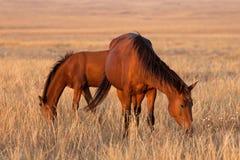 吃草在牧场地的二匹马 库存照片