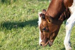 吃草在牧场地的小母牛 免版税图库摄影