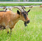 吃草在牧场地的山羊 库存图片