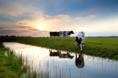 吃草在牧场地的母牛在日落 库存照片