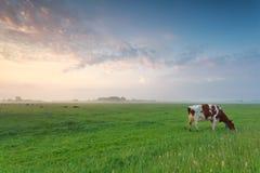 吃草在牧场地的母牛在早晨 免版税库存照片