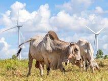 吃草在牧场地的母牛在有多云蓝色的s风车农场旁边 免版税库存图片