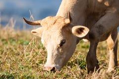 吃草在牧场地的母牛特写镜头 免版税库存照片
