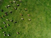 吃草在牧场地的母牛群鸟瞰图 免版税库存图片