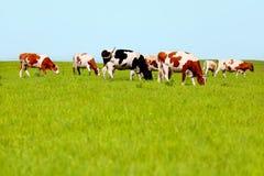 吃草在牧场地的母牛 库存照片