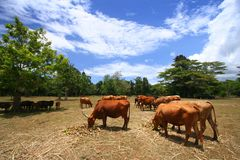 吃草在牧场地的母牛 免版税图库摄影