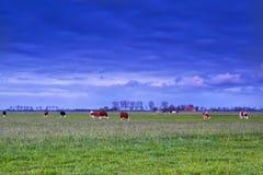 吃草在牧场地的牛在日落 库存照片