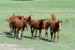 吃草在牧场地的纯血统英国人阿拉伯马享受夏天 免版税图库摄影