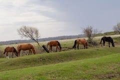 吃草在牧场地的马和驹 免版税库存照片