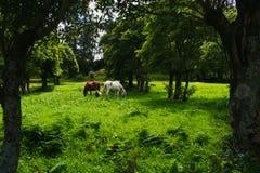 吃草在牧场地的马在山下在明亮的天期间 库存照片